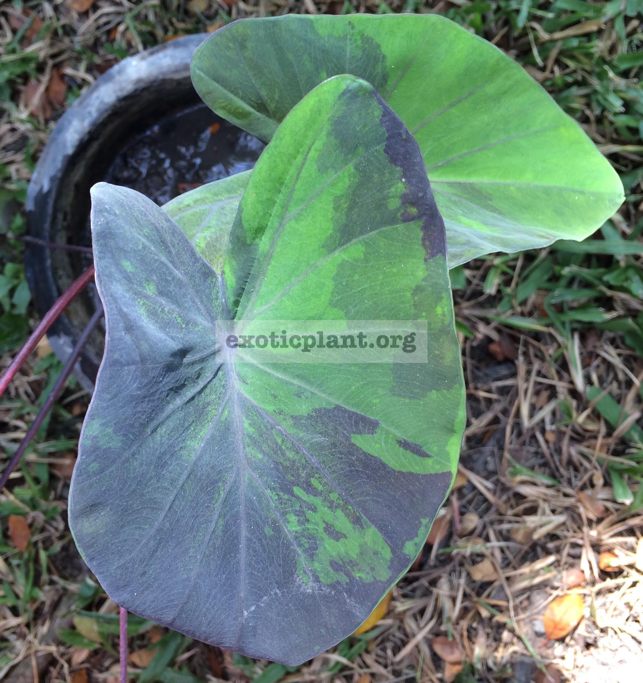 colocasia esculenta Purple Ink 40