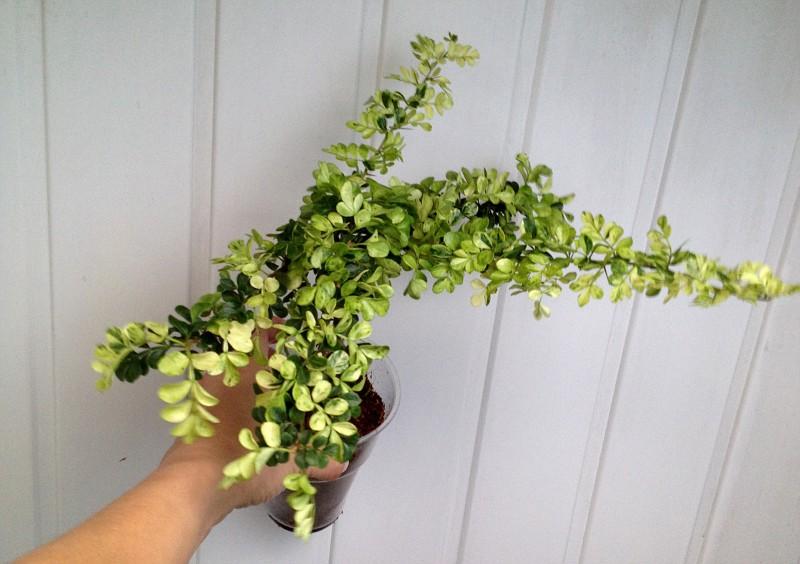 feroniella lucida variegata dwarf 40