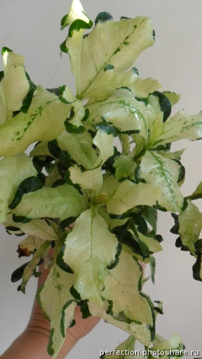 Gardenia angusta variegated 26
