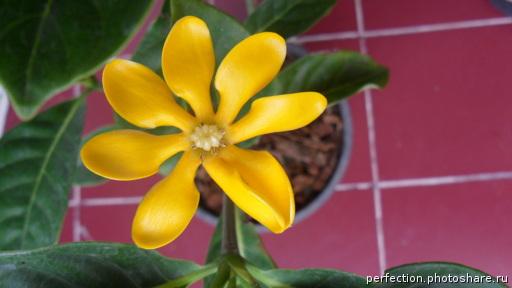 Gardenia gjellerupii 12