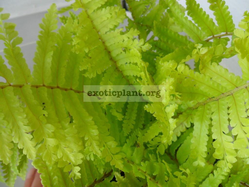 Nephrolepis exaltata cv Vintage Lace 30-60