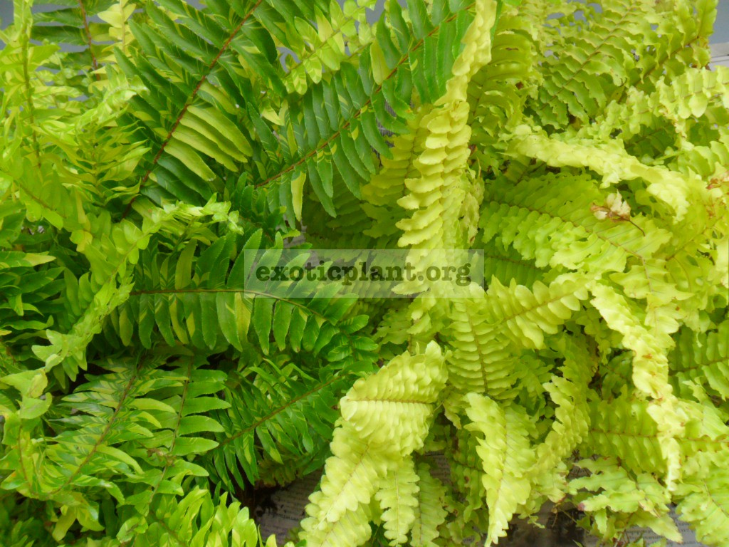 nephrolepis exaltata Tiger Fern and nephrolepis exaltata Blonde (Rita s Gold™)