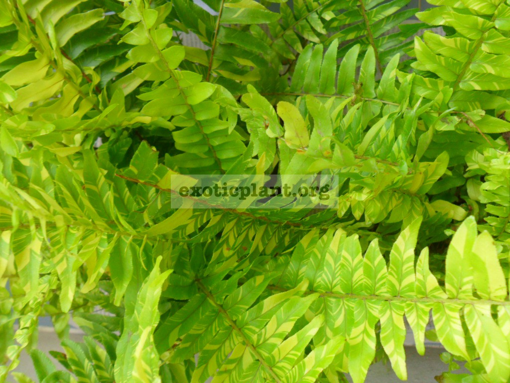 Nephrolepis exaltata variegated = nephrolepis exaltata Tiger Fern 20-30-60
