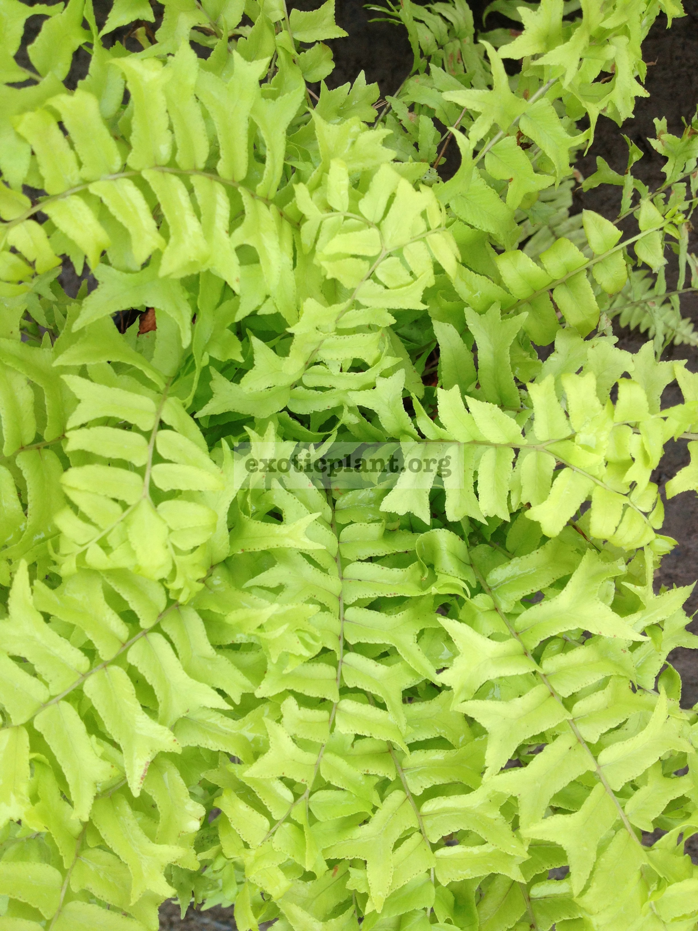 Nephrolepis exaltata yellow cristated form 30-60