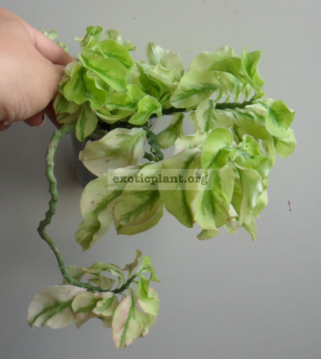 Pedilanthus sp variegated (trailing form) 10