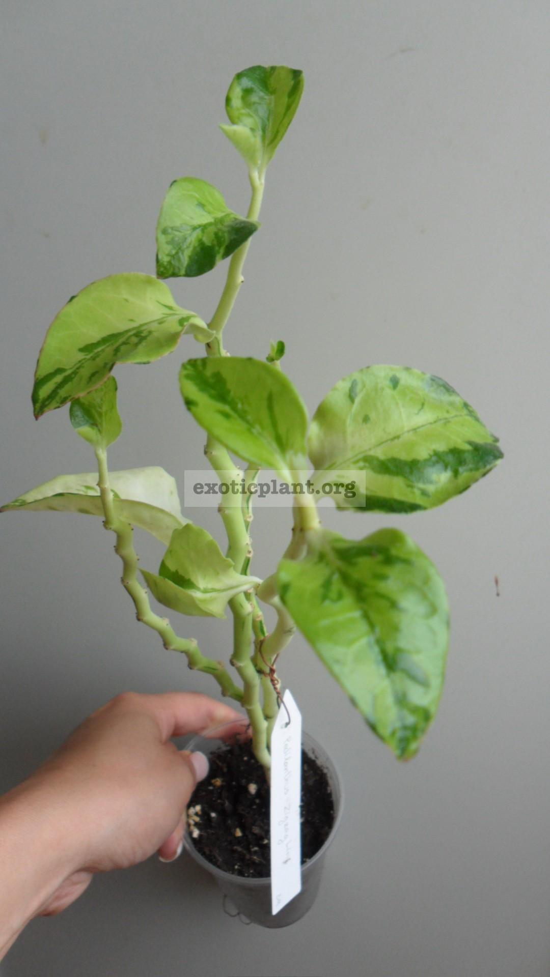 Pedilanthus Zigzag Lime 12
