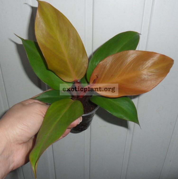 Philodendron Siam Orange 20