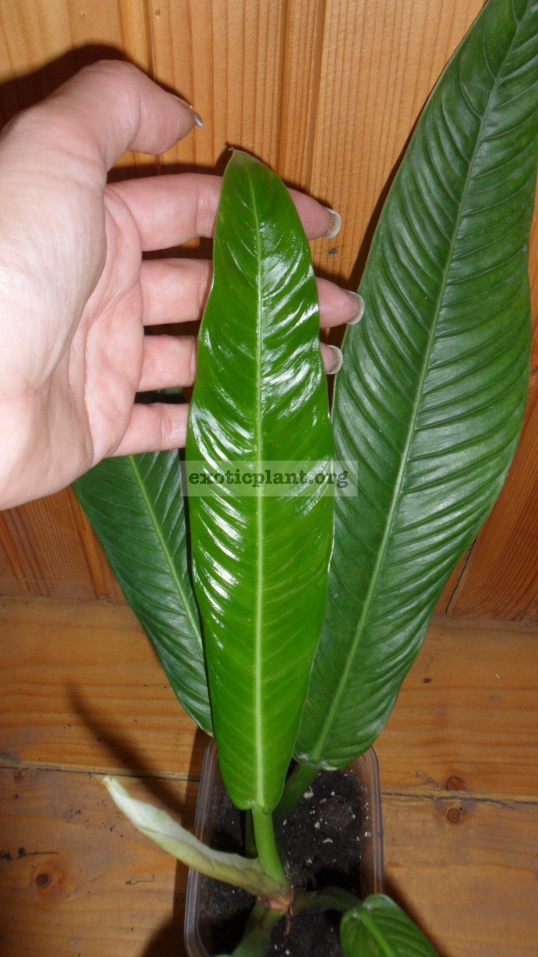 Philodendron lynette 20-30