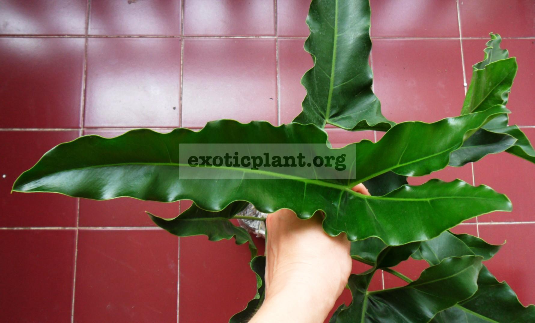 Philodendron williamsi 20-30
