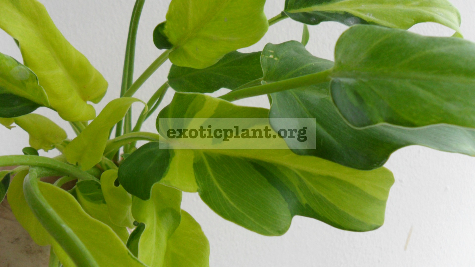 Philodendron Xanadu variegated 20-30