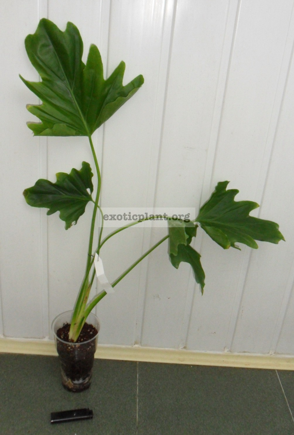 Philodendron selloum 20-50