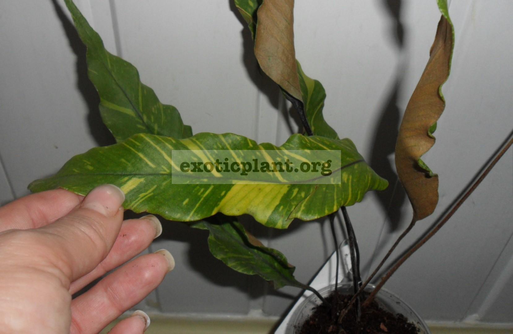 Pyrrosia lingua variegata 23