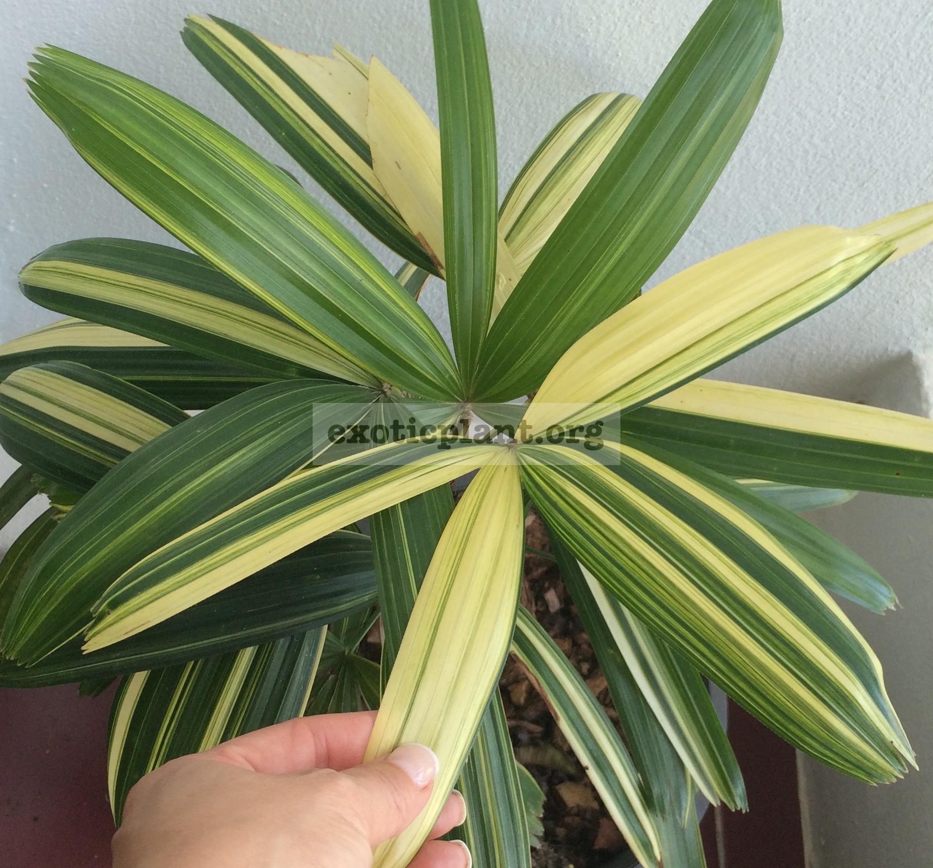 rhapis exselsa variegated (white variegated) / Рапис эксельза вариегатный, Рапис высокий вариегатный 50-65
