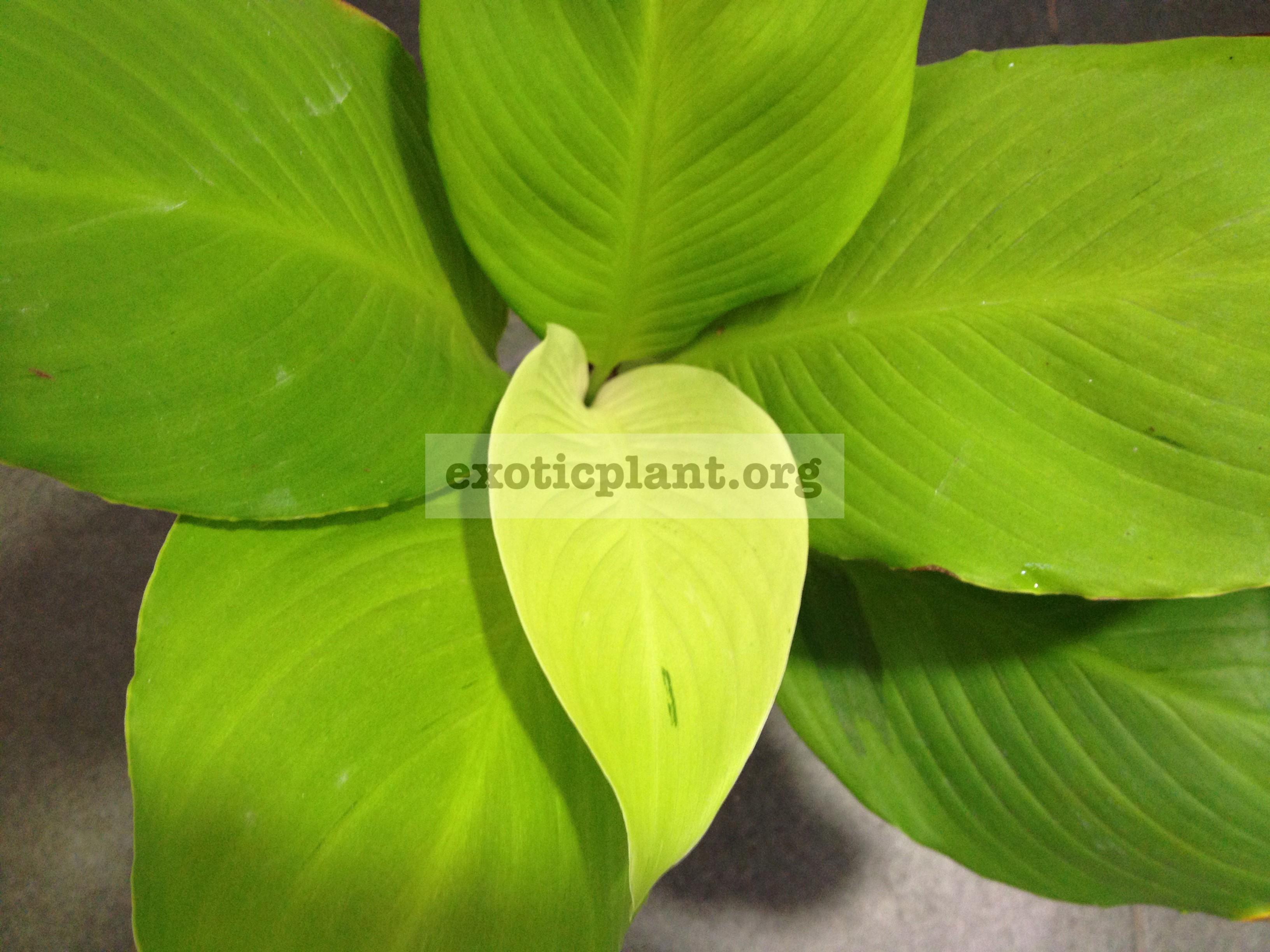 Spathiphyllum cannifolium Gold Satin 20-50