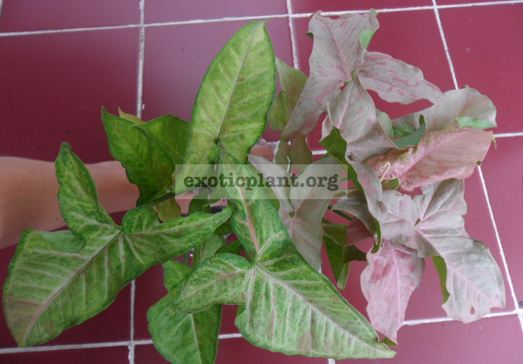 syngonium Confetti (слева) syngonium Pink Spot (справа)