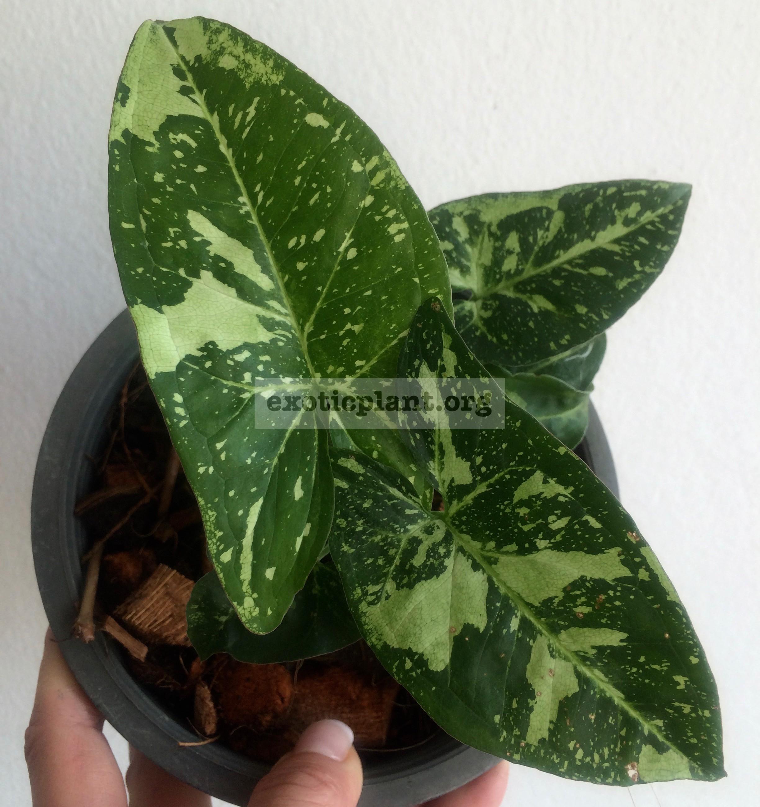 syngonium Green Spot 12