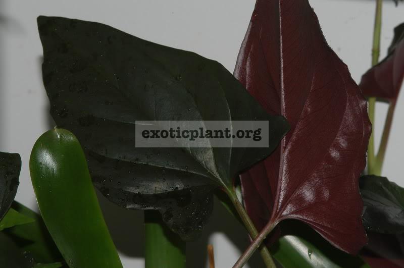 syngonium erythrophyllum 7-9