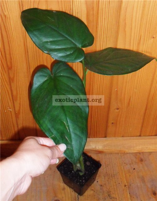 syngonium macrophyllum Dark Night10