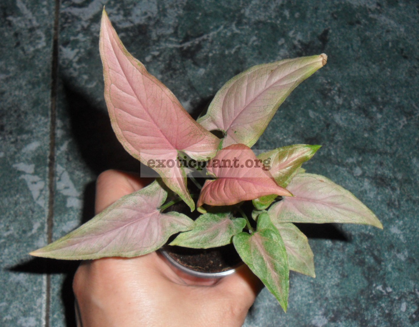 Syngonium Orm Nagpum (rose mini)7-9