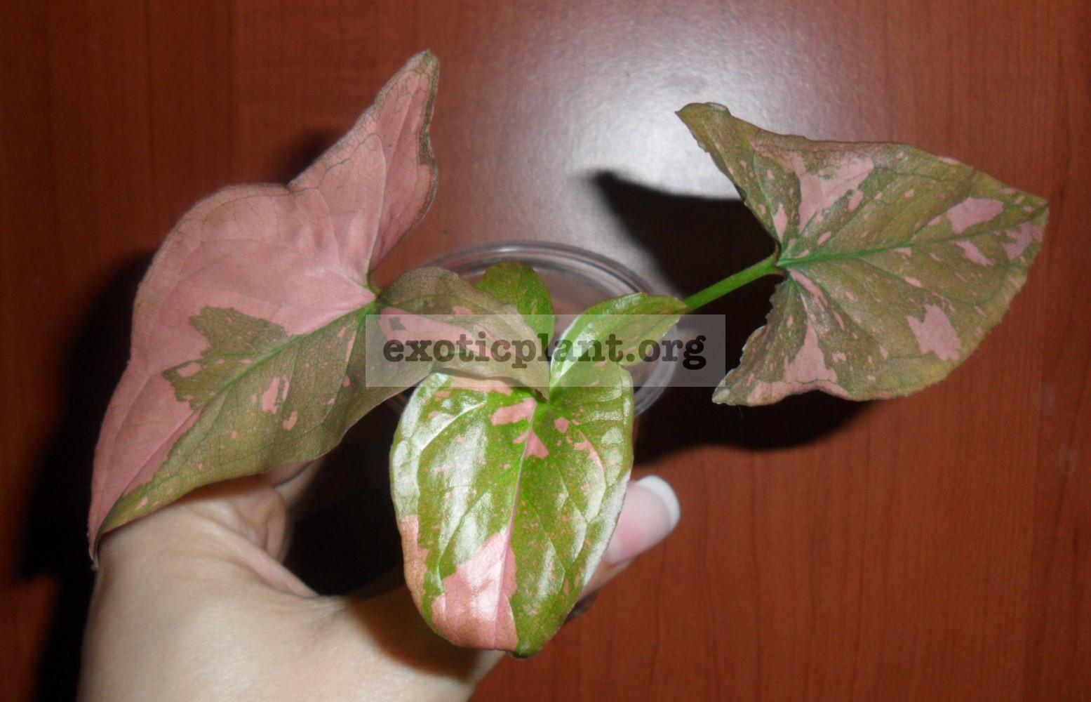 Syngonium Red Spot 7-9