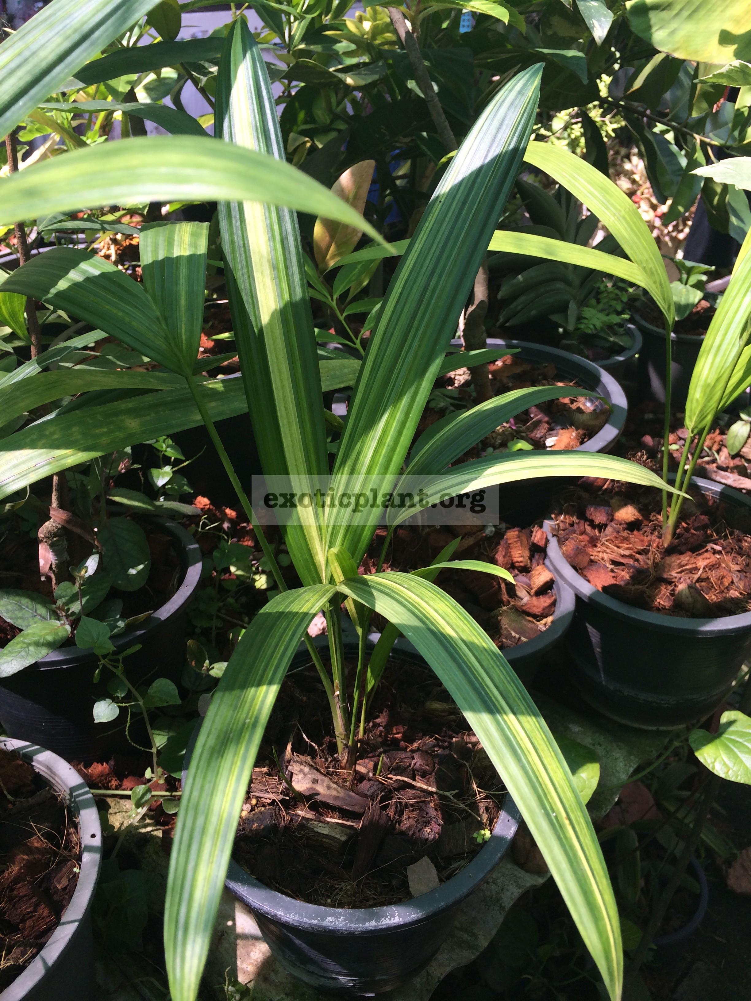 Cyrtostachys lakka variegated 70-100