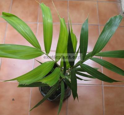 wodyetia bifurcata palm 40-60 cm. 30