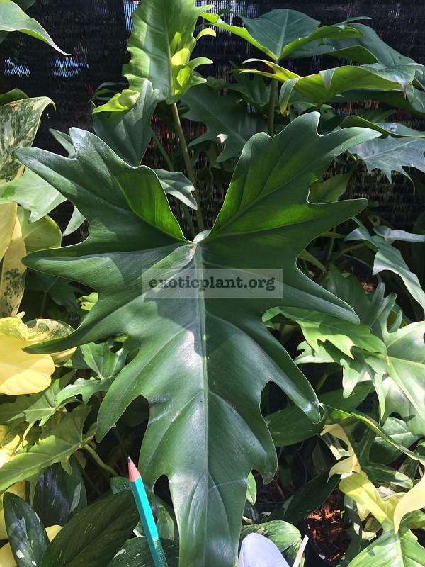 Рhilodendron x evansii hybrid3 25   на фото взрослый лист