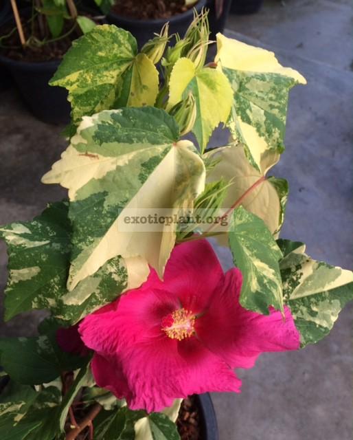 Hibiscus mutabilis variegated 38