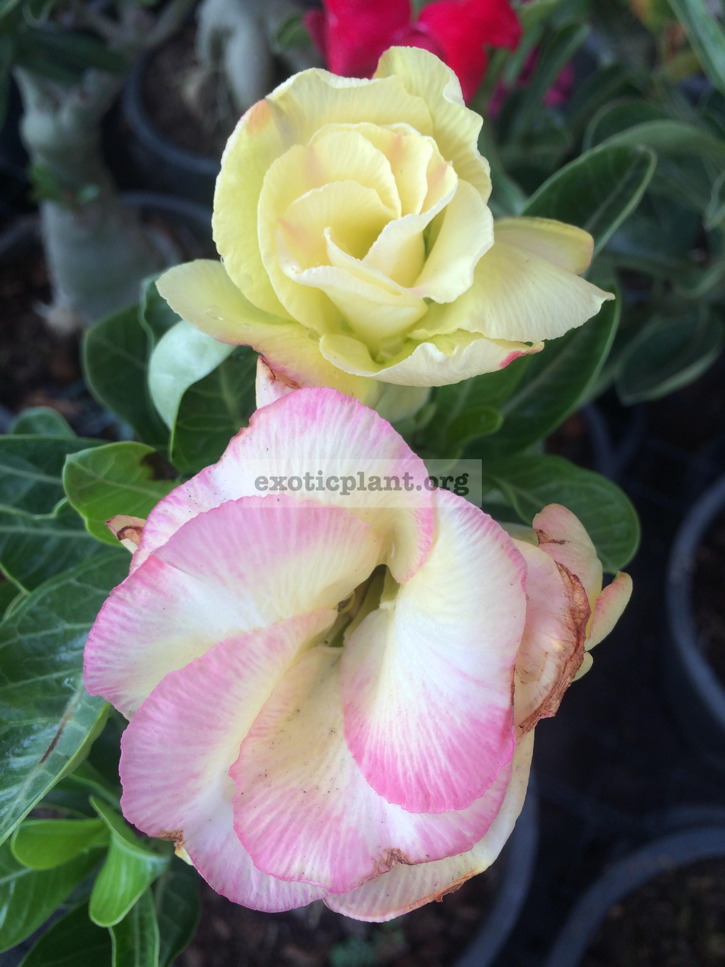 adenium Pink Gold 25