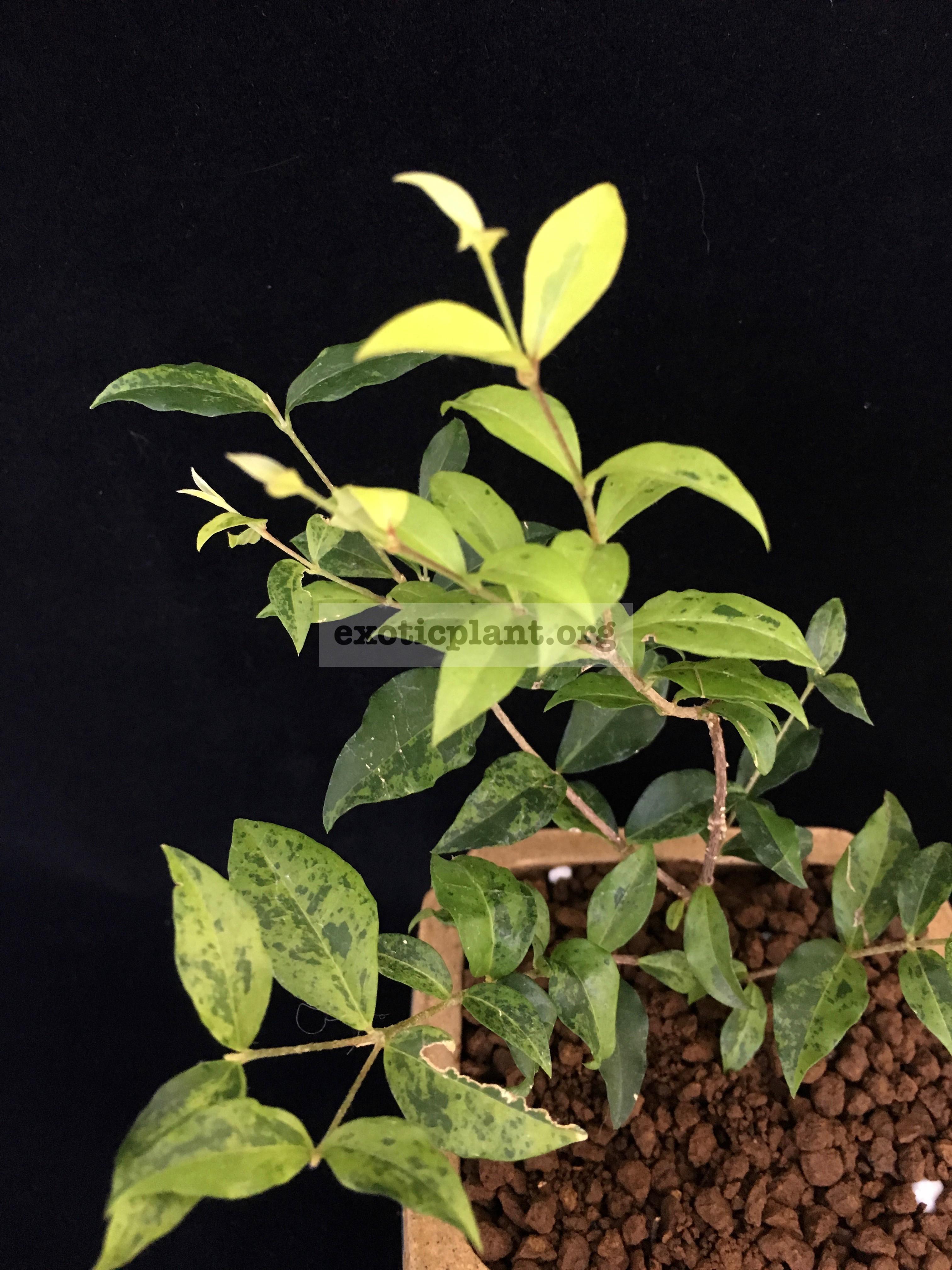 Malpighia glabra (dwarf) variegated 60