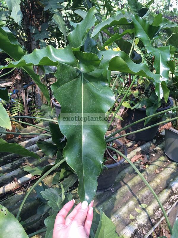 "Philodendron Angela hybrid#2 / филодендрон ""Энджела"" гибрид №2  25"