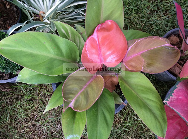 Philodendron Cherry Red Mosaic 75