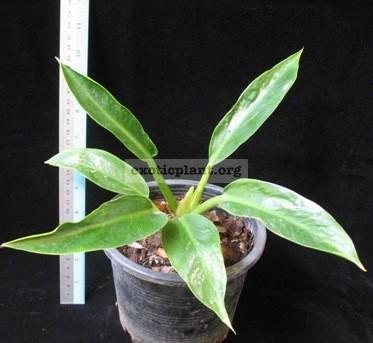 Philodendron Congo Green compact 28