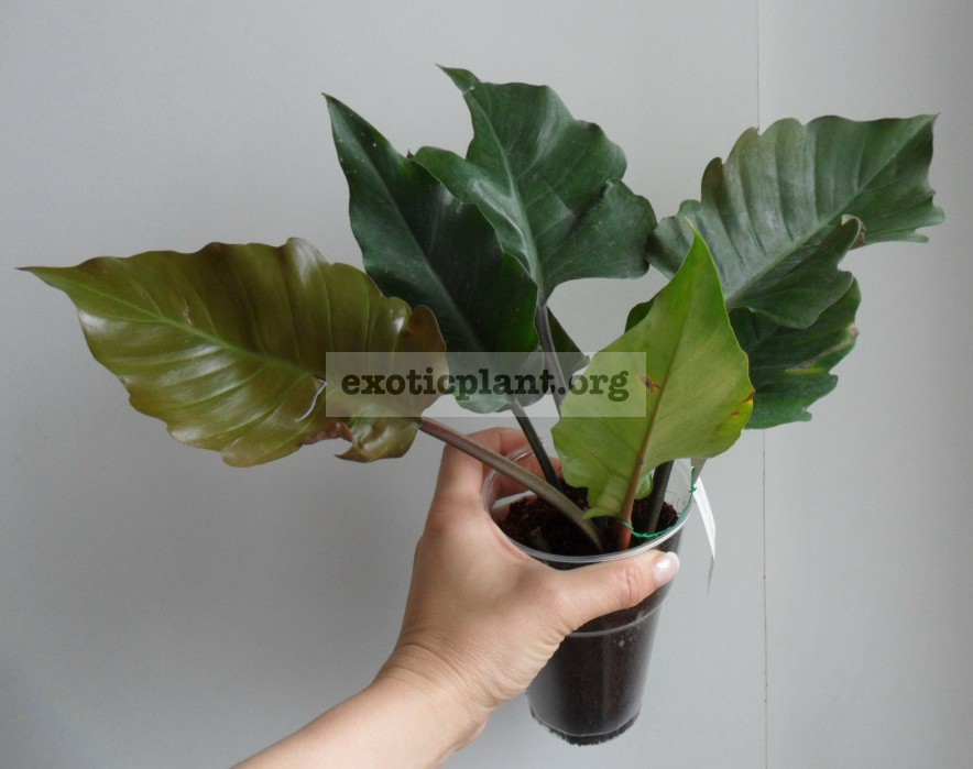 Philodendron Pin Amphan Choco 24
