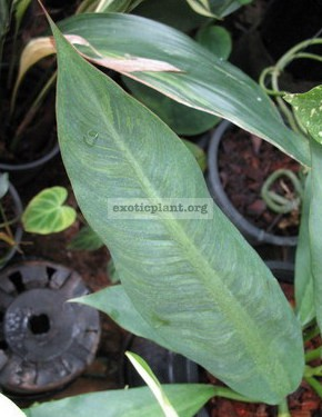 Philodendron Silver Leaf 20