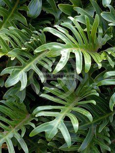 Philodendron Xanadu Emperor 12