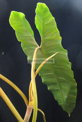 Philodendron billetiae (yellow petiole) 30-45