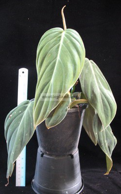 Philodendron gigas 25-45