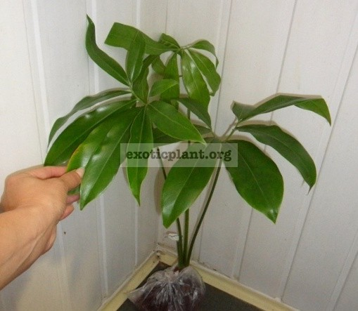 Philodendron goeldii 30