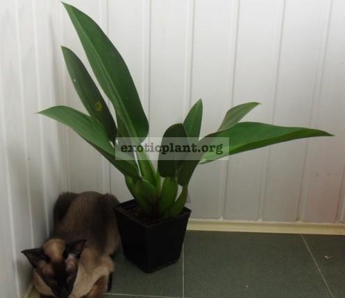 Philodendron martianum (P. cannifolium) big size 40