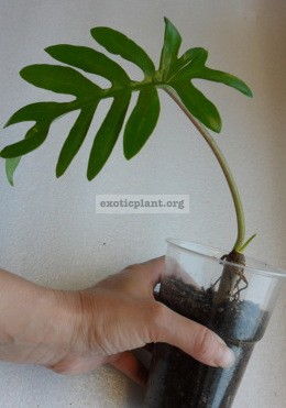 Philodendron mayoi 20
