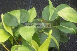 Philodendron oxycardium variegated 20