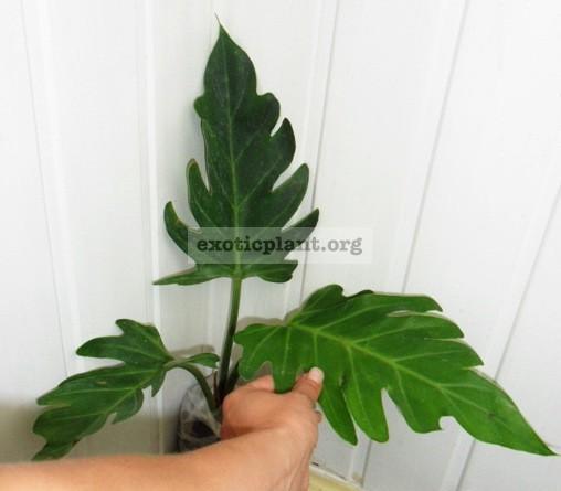 Philodendron pinnatifidum 24