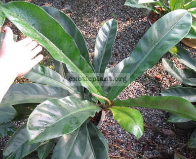 Philodendron rubescent 20