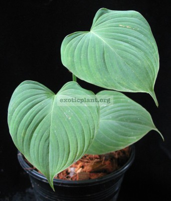Philodendron sp.(S01) 12