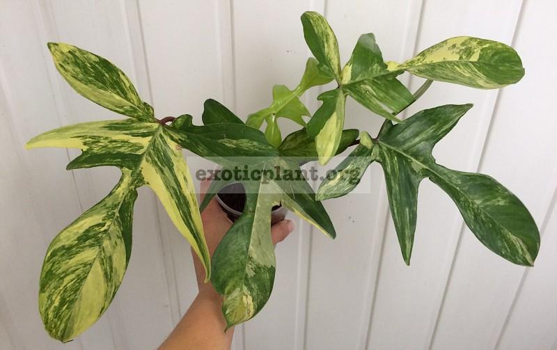 Philodendron squamiferum Magic Mask 30-50-75 (по цене 30 временно недоступен к заказу)