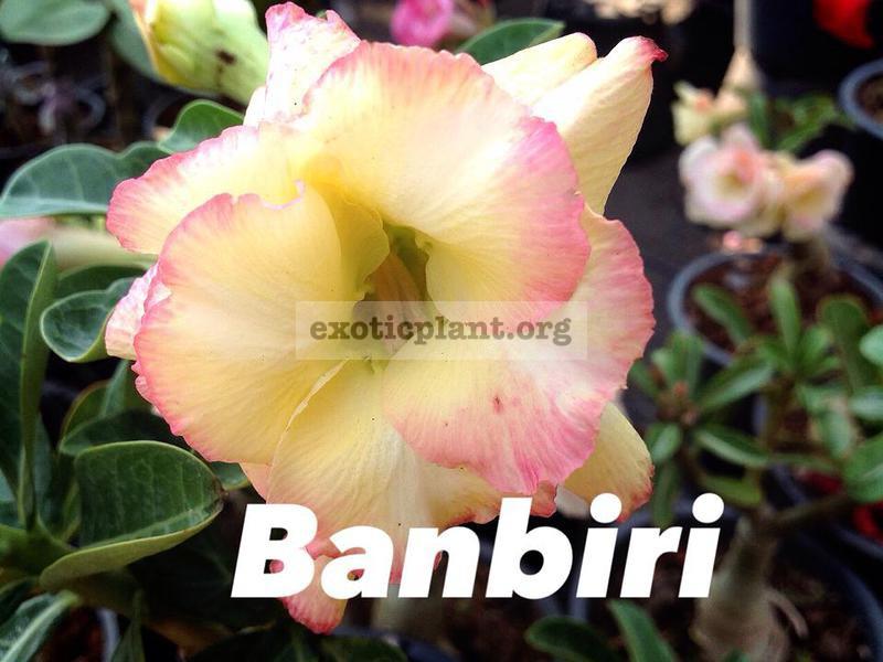 adenium banbiri 23