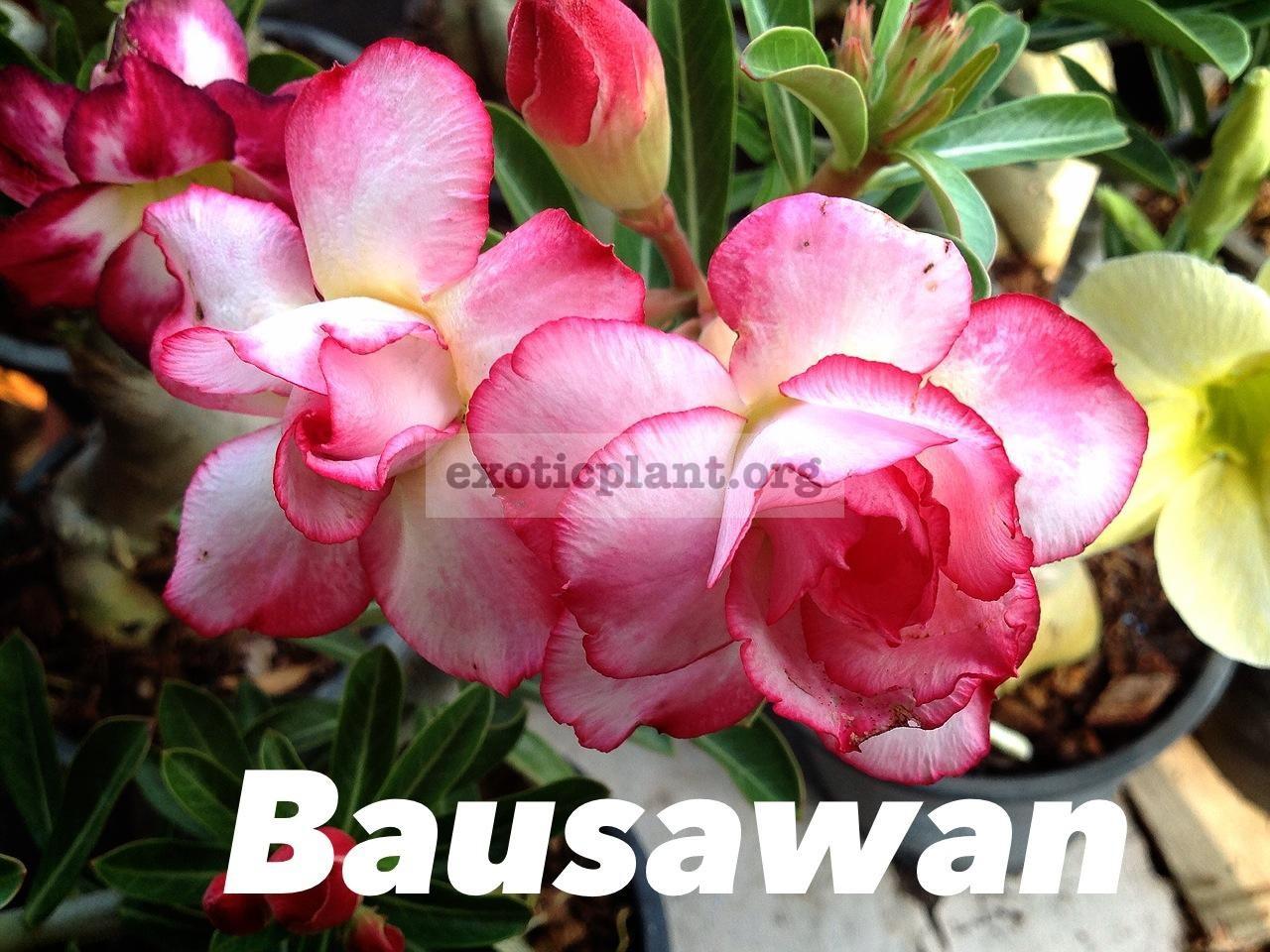 adenium Bausawan 22