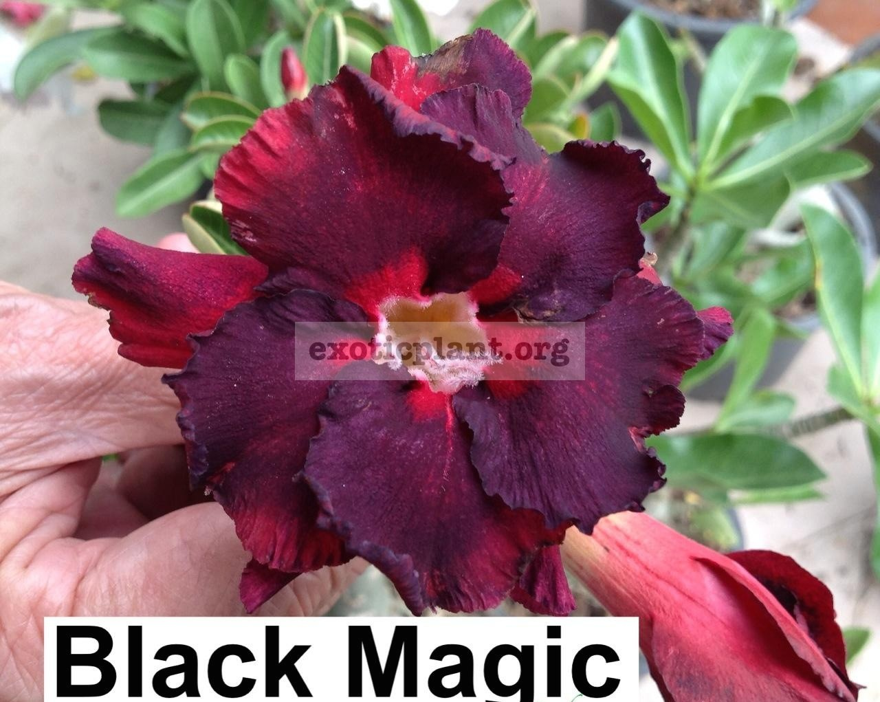 adenium Black Magic 30
