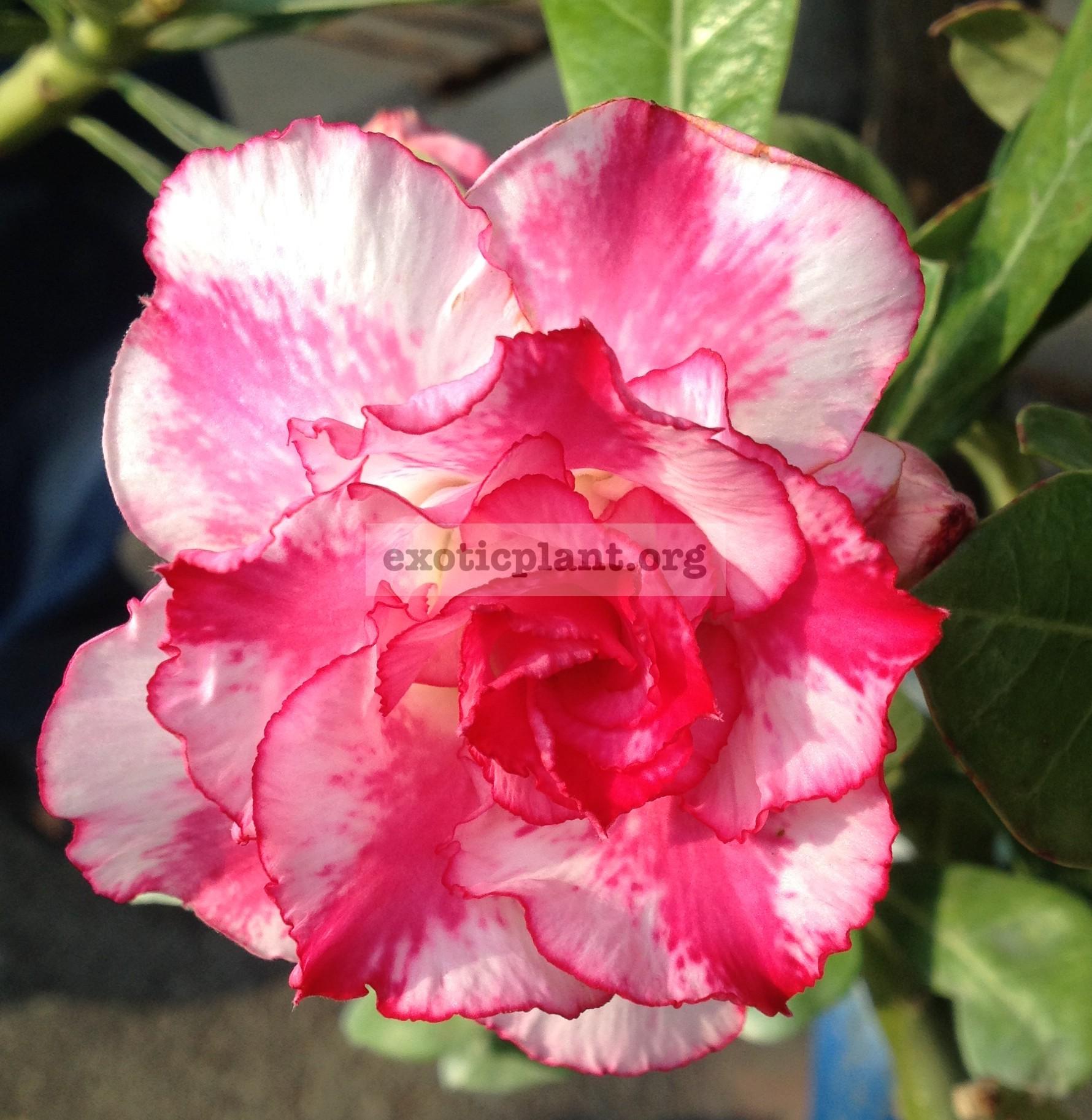 adenium Bua Pink 25